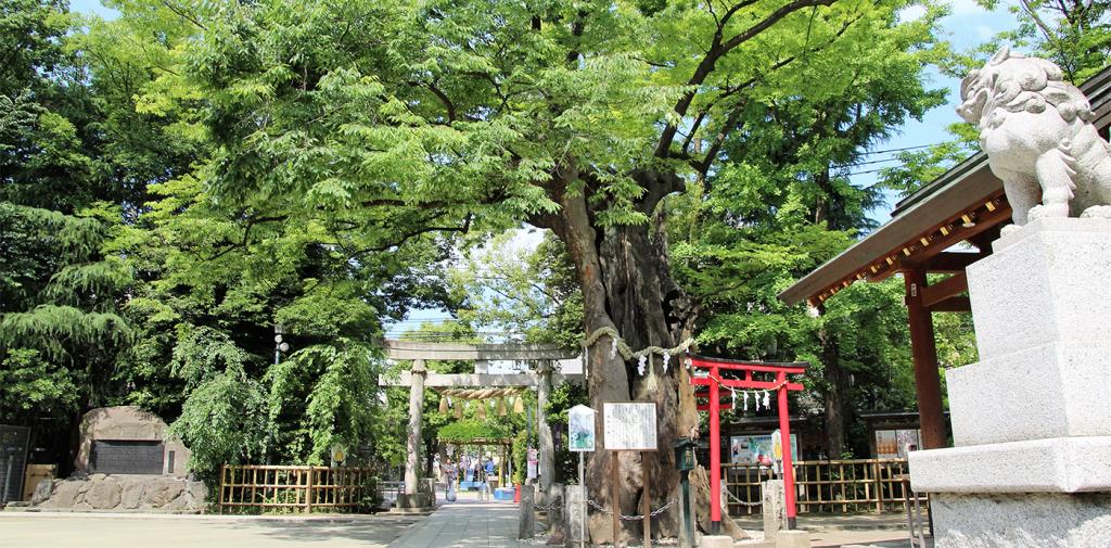 新田神社のご神木として有名な樹齢700年の「欅の木」