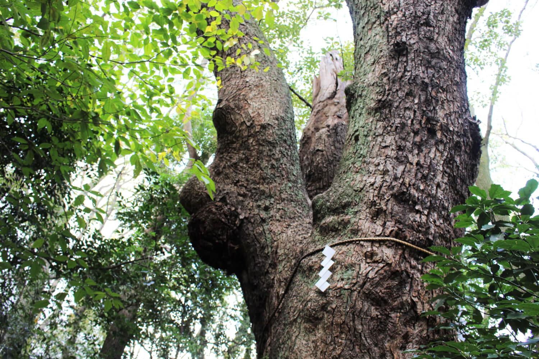 樹齢1000年近い楠木たちが並ぶ