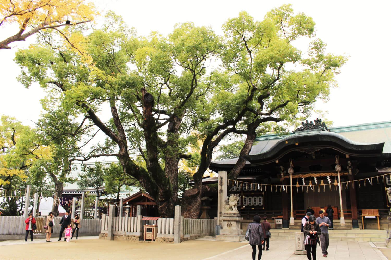 石切劔箭神社のご神木は樹齢500年の楠木