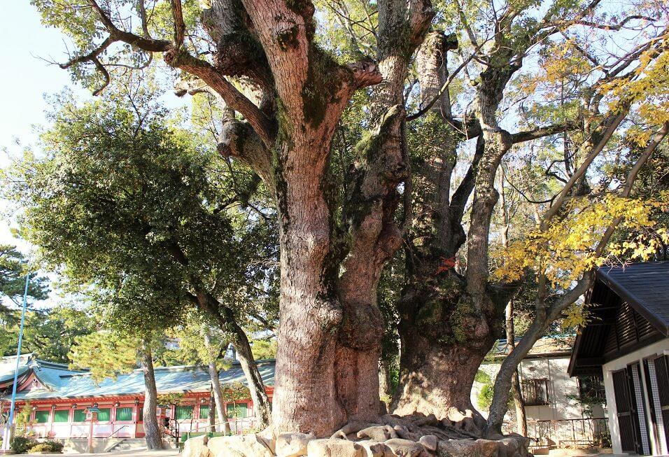 境内に入るとすぐに迎えてくれる長田神社の夫婦の楠木