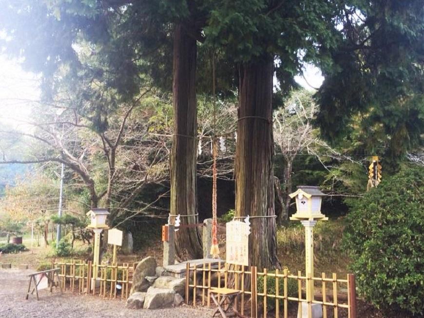 武雄神社の夫婦檜