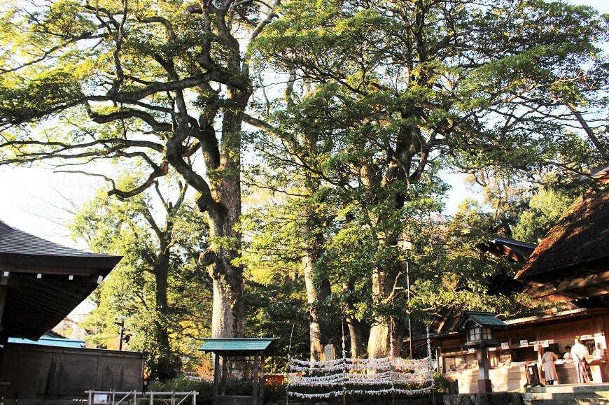 籠神社の御神木