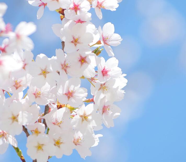 「花見で使える神ネタ!!桜と神社とあの山との関係とは」