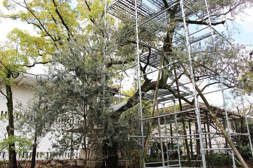 湊川神社のオリーブの木