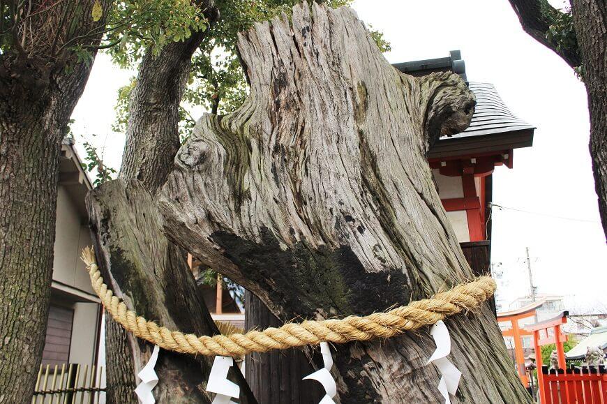 姫嶋神社の樹齢約900年の大楠