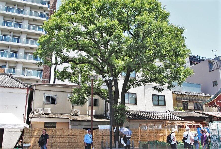 浅草神社の御神木
