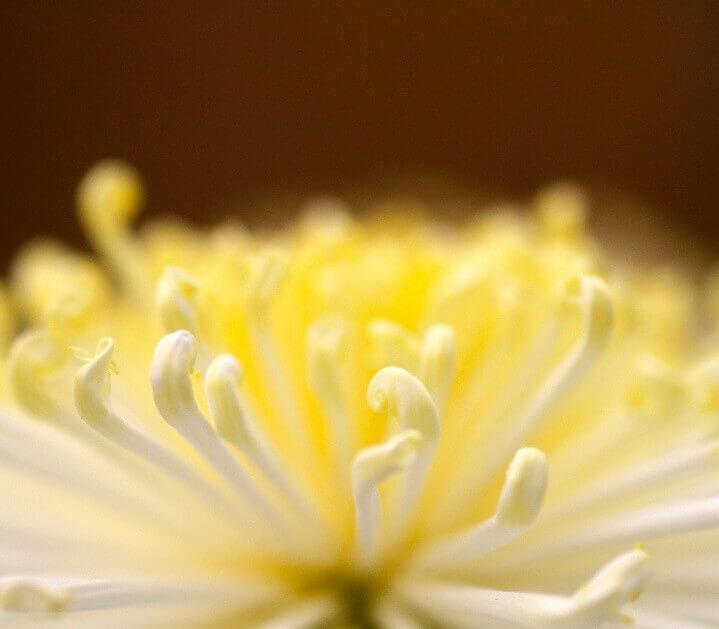 9月9日は陽が極まる「重陽の節句(節供)」、この日に菊酒を飲むのはなぜ?