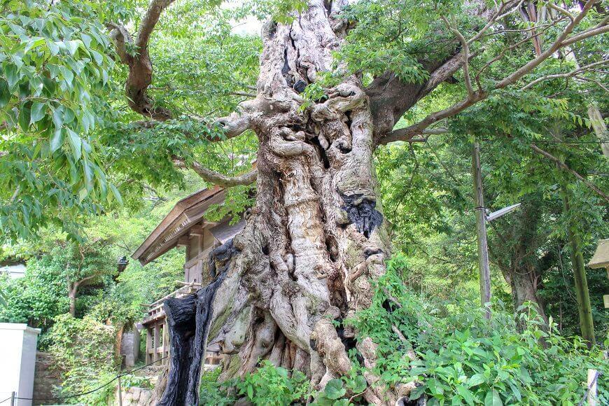 出雲大社の御神木 樹齢1000年程のムクの木
