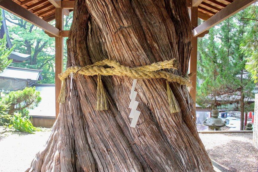 枚岡神社の柏槙