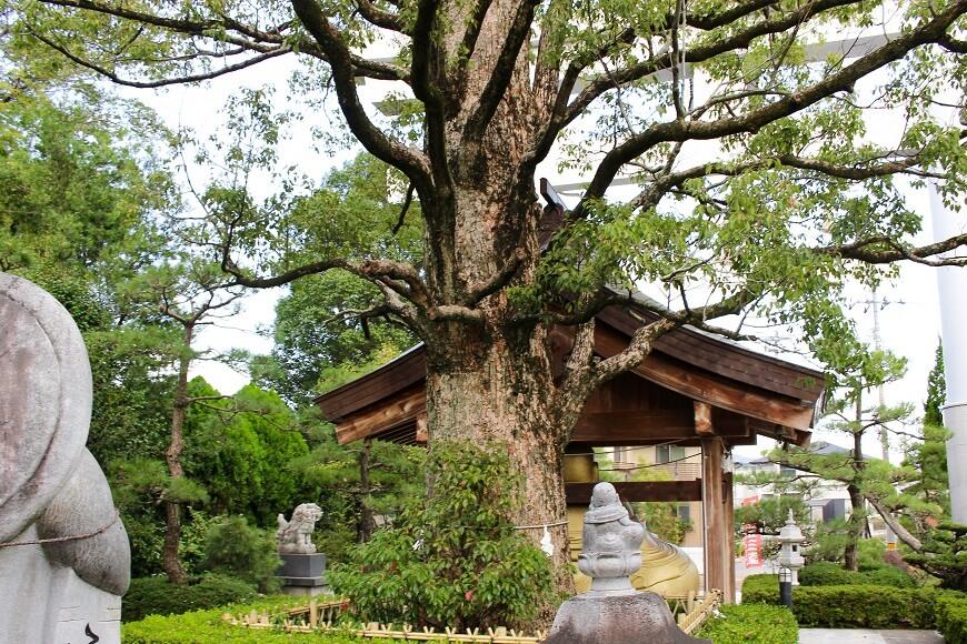 田村神社の裏参道にある大楠