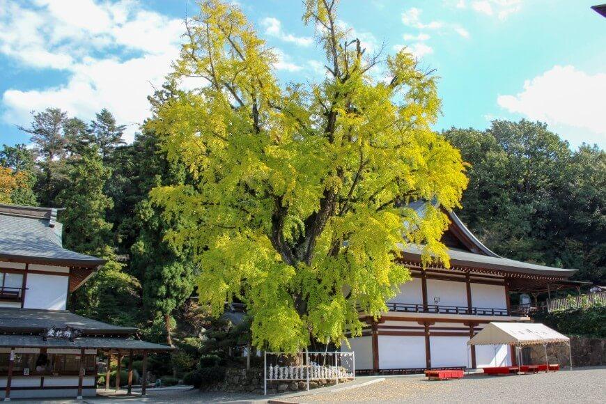 吉備津神社の御神木、大イチョウ