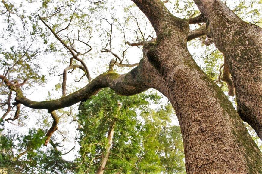 伊弉諾神宮の御神木