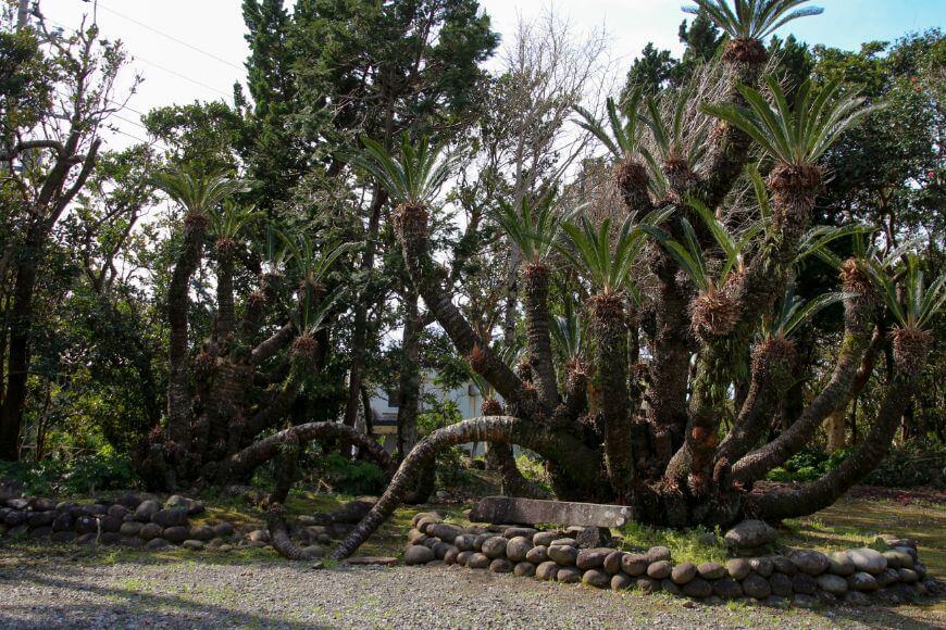 優婆夷宝明神社のソテツの木